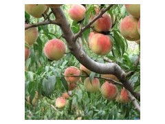 3公分桃树 5公分桃树 8公分桃树低价出售