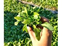 鼠尾草在什么季节种植?以及如何种植?