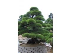 造型油松扩大种植的方法