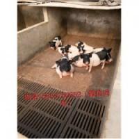 藏香猪养殖场福建龙海市周边小巴马香猪好养
